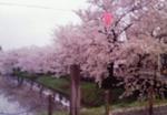 高田公園の桜