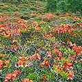 レンゲツツジの群生地