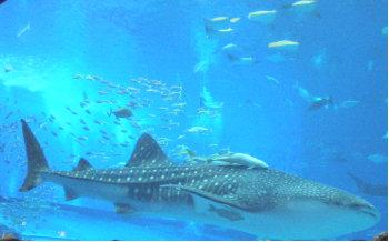 ちゅらうみ水族館のジンベイザメ2.jpg