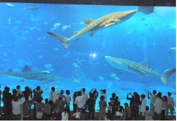 ちゅらうみ水族館のジンベイザメ3.jpg