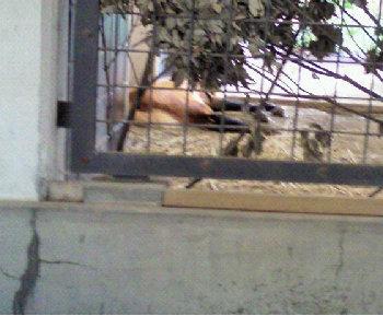 タテガミオオカミの寝相.jpg