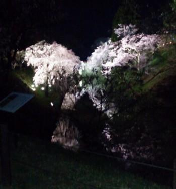 上田城址公園夜桜3.jpg