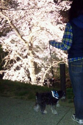 上田城址公園夜桜4.jpg