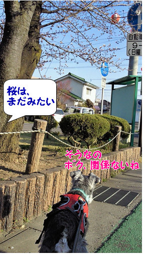 桜はまだかな.jpg