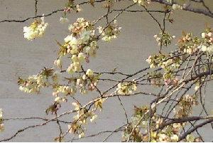 黄色の桜.jpg